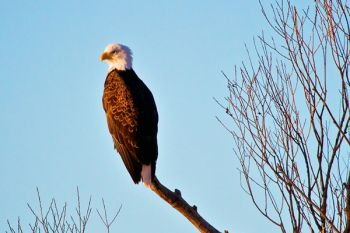 A bald eagle in the first morning light at LaCreek.