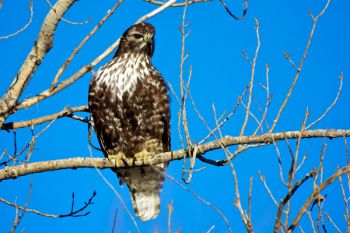 Rough-legged hawk at LaCreek.