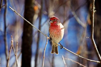 A male house finch near the feeders at Farm Island State Park.