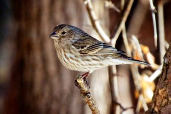 A female finch at Farm Island.