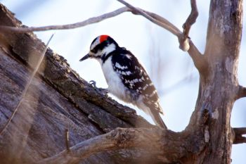 A male hairy woodpecker at Farm Island.