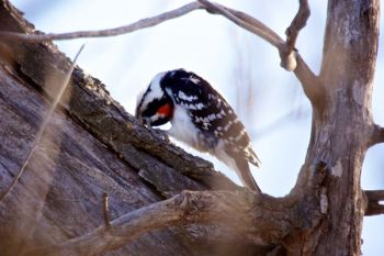 The same hairy woodpecker needs extra leverage to extract an insect.
