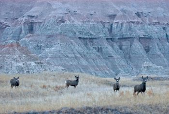 Mule deer, coyotes, bighorn sheep, rattlesnakes, prairie dogs and black footed ferrets call the Badlands home.