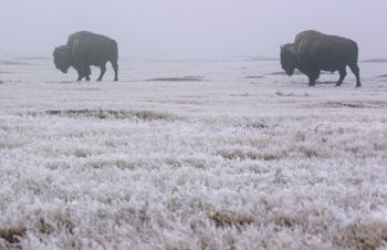 Bison thrive in the Badlands, thanks to a reintroduction program.
