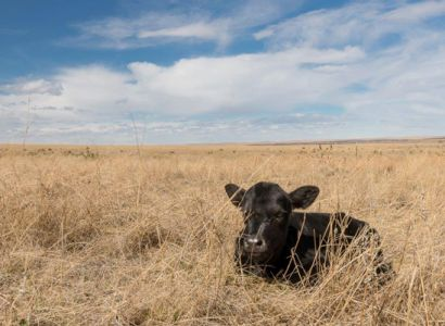 A new calf rests in the pasture.