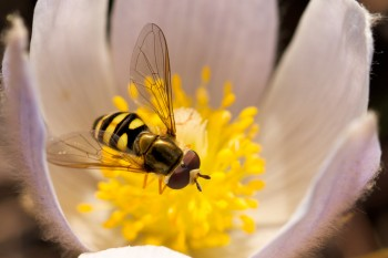 Flower fly on pasque. Photo by Christian Begeman.