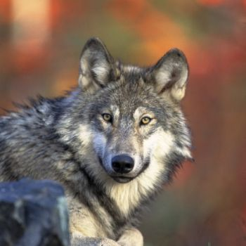 The wolf population has made a great comeback due to a successful reintroduction policy — a fact troubling to many ranchers. Photo by Gary Kramer, U.S. Fish & Wildlife Service.