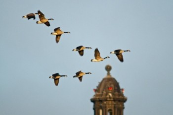 "A flock of Canada geese in their familiar ""V"" formation pass by the tip of the Capitol dome."