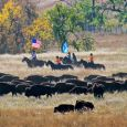Park employees and volunteers gathered about 1,200 buffalo into corrals.