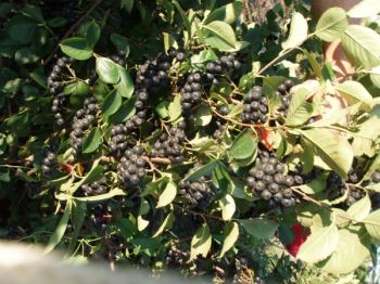 Ripe aronia berries are a deep, almost black purple. Photo by Jolene Stewart.