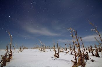 A full moon clearly illuminates the stalks of a cornfield as the constellation Orion passes overhead.