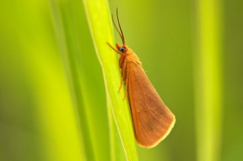 Orange moth. Photo by Christian Begeman.