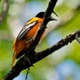 Christian Begeman found orioles at the Adams Homestead and Nature Preserve, but you might see them in your own back yard.
