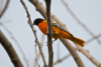 <a href='http://cbegeman.blogspot.com/' target='_blank'>Christian Begeman</a> found orioles at the Adams Homestead and Nature Preserve, but you might see them in your own back yard.