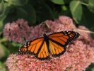 Our editor-at-large, Bernie Hunhoff, spotted this monarch butterfly just outside our offices yesterday. He ll soon fly an incredible 2,500 mile journey to the Oyamel fir forests in southern Mexico. Monarchs hibernate there in the winter, then fly north in the spring to lay eggs.
