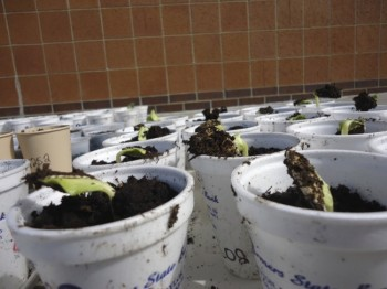 In less than a week, many of the seedlings had sprouted and were ready to go home with young gardeners.