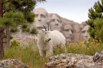 Mountain goats sometimes can be found in the Mount Rushmore area and make great contrasts to the granite heads.