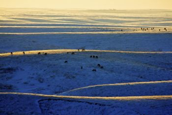 Horses graze on hills artistically painted by late sunlight and snow as seen from Highway 1806 in rural Stanley County.