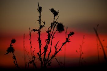 A prickly thistle weed silhouetted against the last light in the sky.