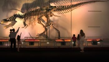 Sue the T. rex replica measures 42 feet long and is 17 feet high at her highest point. © The Field Museum