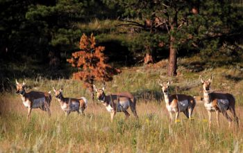 Motorists can spot herds of pronghorn as well as deer and bighorn sheep.