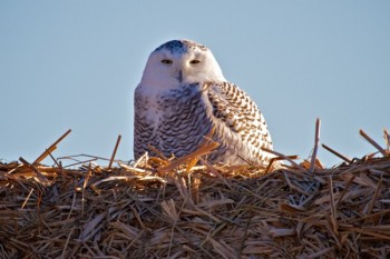 This is the best winter in years to spot snowy owls in South Dakota. Christian Begeman found this one near Okobojo Bay on Dec. 26.