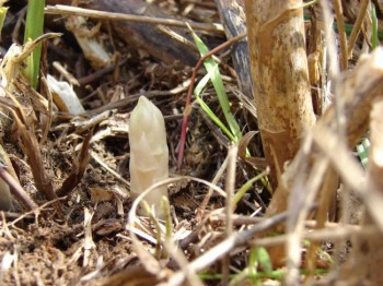 A spear of asparagus pokes through the soil near Forestburg. Photos by Debey Senska. Click to enlarge.
