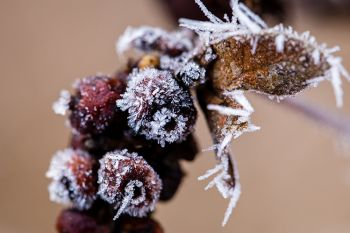 Frost on berries at the Big Sioux Recreation Area.