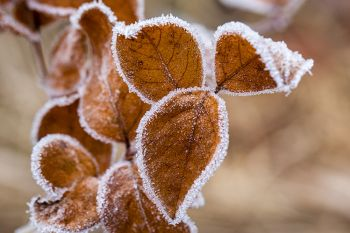 Frosted leaves at the Big Sioux Recreation Area.