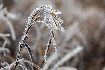 Soft rime ice on tall grass at the Big Sioux Recreation Area.