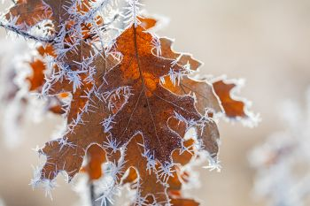 Exquisite rime ice on unfallen leaves at the Big Sioux Recreation Area.
