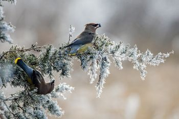 Cedar Waxwings on frosted cedar branches at Big Sioux Recreation Area.