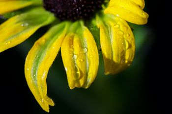 Raindrops on a newly blooming Black-eyed Susan at Lake Vermillion Recreation Area near Canistota.