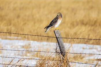 A northern harrier along a Custer County road.