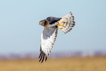 Northern harrier just after take-off.