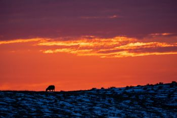 Sunset color above a grazing cow in the White River hills in northeastern Jackson County.