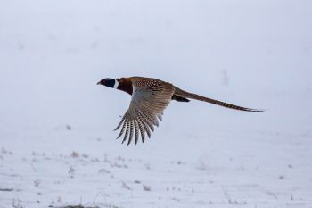 Pheasant on Christmas Eve in rural Brown County.