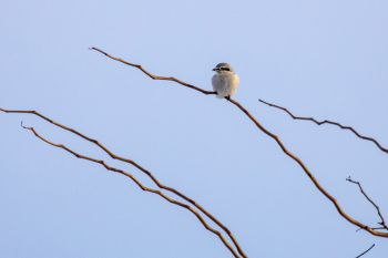Northern Shrike along the Foster Bay road.