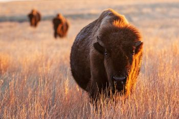 American Bison at dawn in Wind Cave National Park.