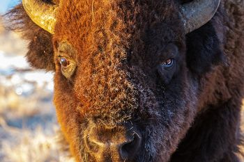Frost on a bull bison.