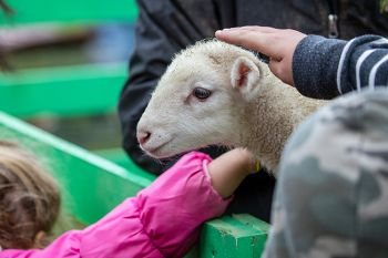 Petting a lamb at the Fall Festival.