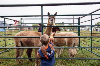 Feeding the alpacas at the Fall Festival.