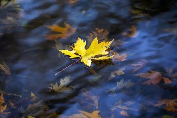 A newly fallen leaf on a mudflat pool at the Big Sioux Recreation Area.