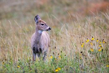 A fawn with yellow coneflowers in October at Custer State Park.