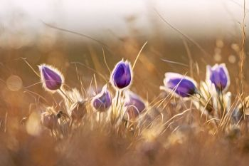 Pasqueflowers in rural McPherson County.