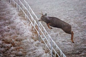 A frosted fence line with a floating mule deer taken near Lowry.