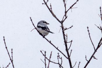 A northern shrike atop a tree along the Big Sioux River.