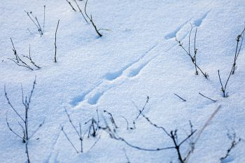 Bird tracks in the snow at Newton Hills State Park.