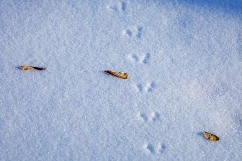 Mouse tracks in the snow at Newton Hills State Park.