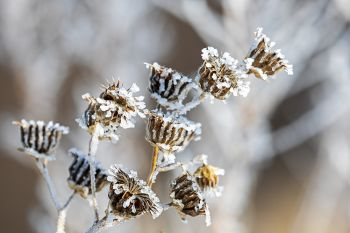 Frosted sunflower heads at Good Earth State Park.
